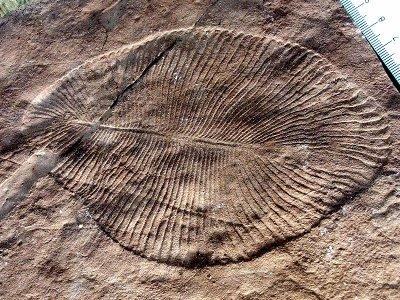 Fossile di Dickinsonia costata, una tipica creatura della fauna di Ediacara