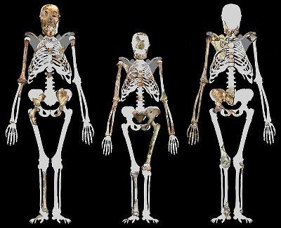 Scheletri degli Australopithecus sediba MH1 ed MH2 con quello di Lucy in mezzo