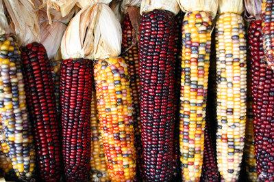 Pannocchie di mais con cariossidi di diversi colori a causa dell'attività dei trasposoni