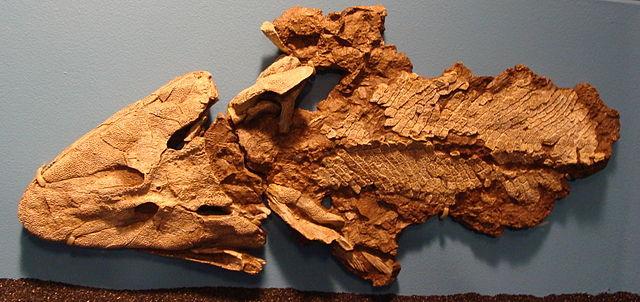 Fossile di Tiktaalik al Field museum di Chicago
