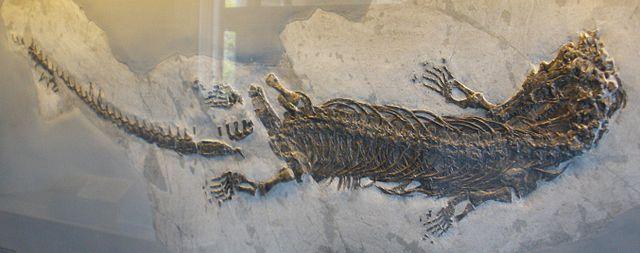 Fossile di Askeptosaurus italicus
