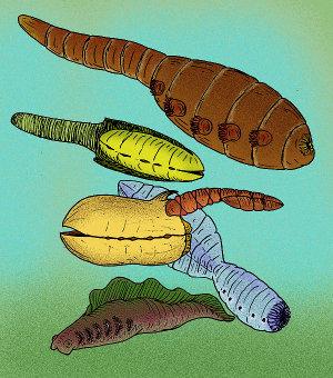 Ricostruzione di varie specie appartenenti al phylum Vetucolia