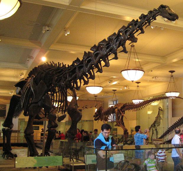 Scheletro di Apatosaurus excelsus, che ora potrebbe essere rinominato Brontosaurus Excelsus