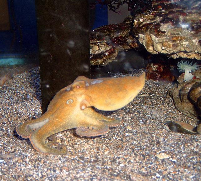 Un polpo della specie Octopus bimaculoides (Foto Jeremy Selan)