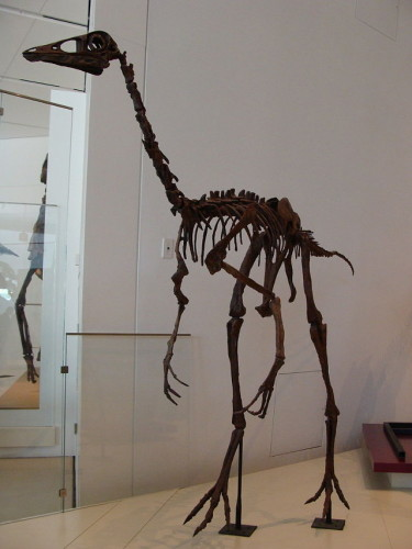 Scheletro di Ornithomimus al Royal Ontario Museum