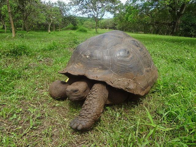 Una tartaruga delle Galapagos o tartaruga gigante delle Galapagos (Chelonoidis nigra)