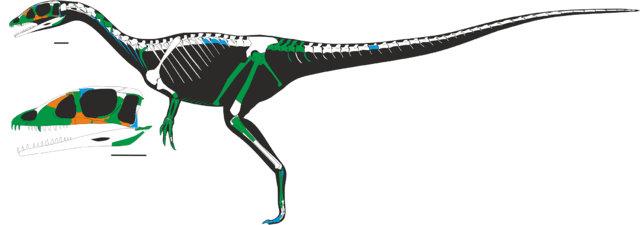 Scheletro di Dracoraptor hanigani con le parti trovate in verde (Immagine cortesia David M. Martill, Steven U. Vidovic, Cindy Howells, John R. Nudds)