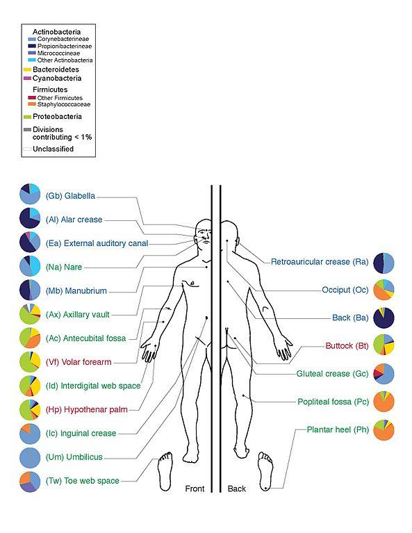 I batteri presenti sulle varie aree della pelle umana, un piccolo esempio di interazione del microbioma con gli esseri umani (Immagine Darryl Leja, NHGRI)
