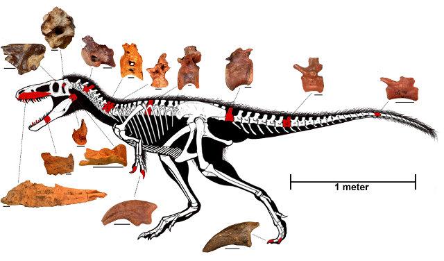Ricostruzione dello scheletro di Timurlengia euotica (Immagine cortesia Proceedings of the National Academy of Sciences. Tutti i diritti riservati)