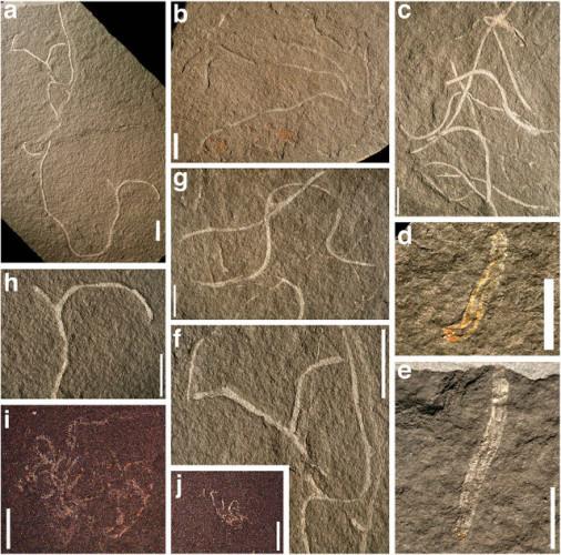 Da a ad h fossili di Chinggiskhaania bifurcata, i e j sono fossili di Zuunartsphyton delicatum (Immagine Stephen Dornbos et al.)