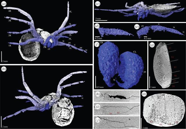Varie viste dalle scansioni dell'Idmonarachne brasieri (Immagine Russell J. Garwood et al.)