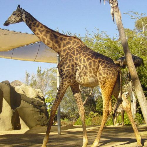 Giraffa masai, chiamata anche giraffa del Kilimangiaro, (Giraffa camelopardalis tippelskirchi)