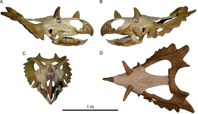 Ricostruzione del teschio di Spiclypeus shipporum con le parti mancanti sbiadite (Immagine Jordan C. Mallon et al.)