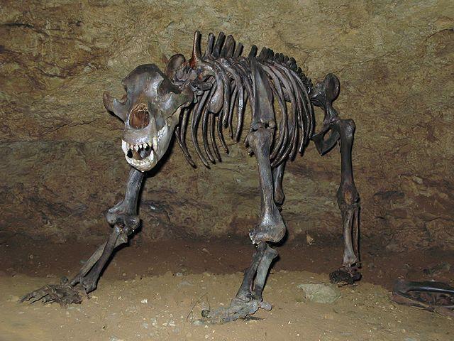 Scheletro di orso delle caverne