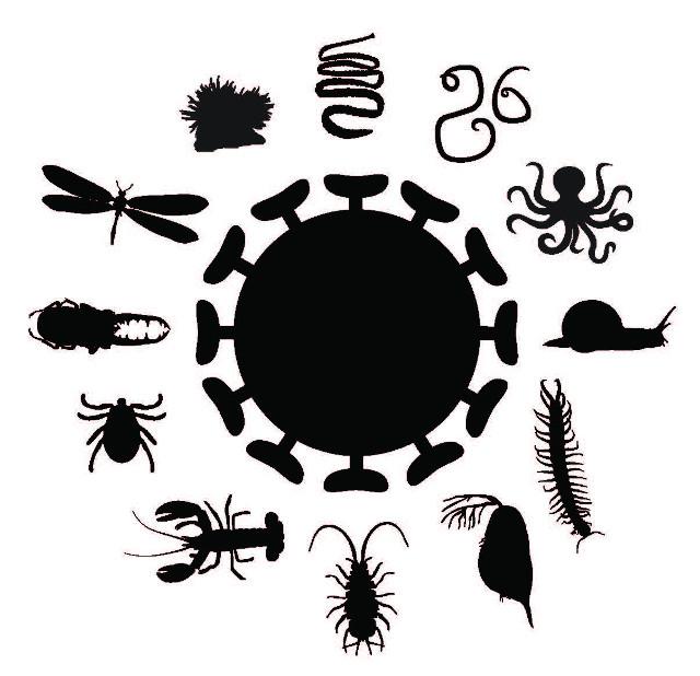 Schema degli invertebrati (Immagine cortesia Università di Sydney)