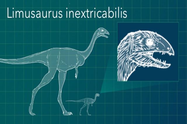 Limusaurus inextricabilis con i denti indicati nel cucciolo (Immagine cortesia George Washington University)