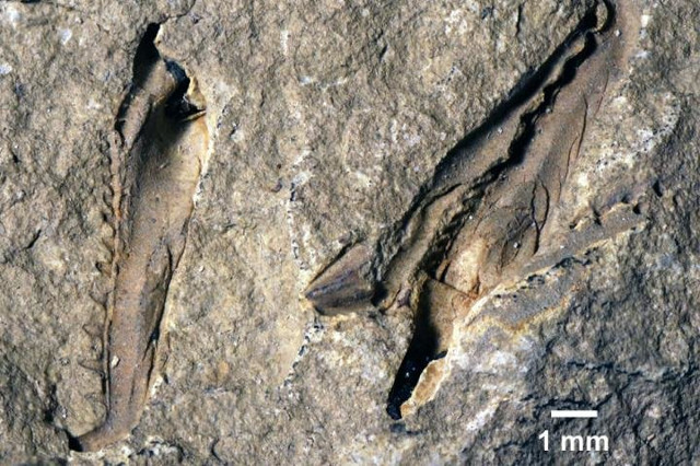Fossile di Websteroprion armstrongi (Foto cortesia Luke Parry)