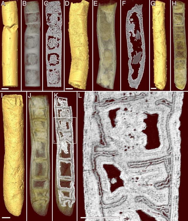 Tomografie di Rafatazmia chitrakootensis (Immagine cortesia Stefan Bengtson et al.)