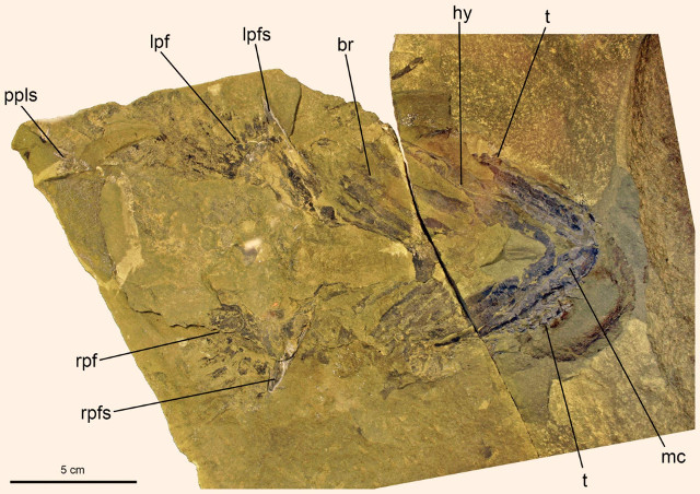 Fossile di Doliodus problematicus (Foto cortesia John G. Maisey et al)