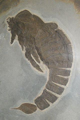 Fossile di Slimonia acuminata