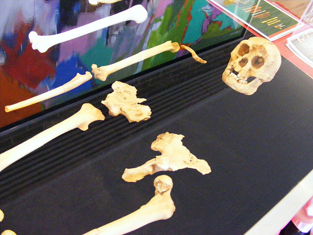 Riproduzione delle ossa di un Homo floresiensis