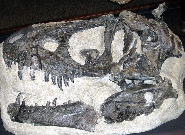 Teschio di Daspletosaurus horneri
