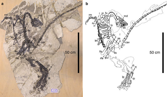 Fossile e disegno di Jianianhualong Tengi (Immagine cortesia Xu, Currie, Pittman et al.)