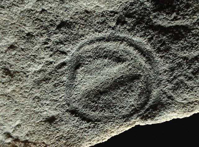 Fossile di Parvancorina minchami (Foto Masahiro miyasaka)