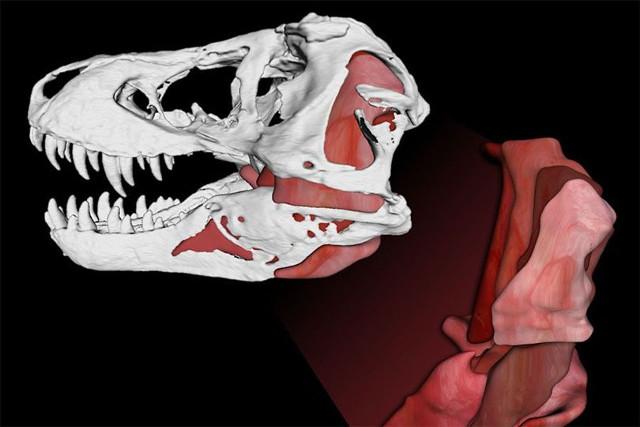 Simulazione dell'anatomia di un Tyrannosaurus rex (Immagine cortesia Gregory Erickson e Paul Gignac / Florida State University/Oklahoma State University / Scientific Reports)