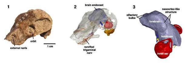 Cranio di kawingasauro (Immagine cortesia Michael Laaß / Verlag Wiley-VCH)
