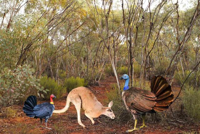 Un tacchino australiano, un canguro e una ricostruzione di Progura gallinacea (Immagine cortesia Elen Shute / Kim Benson / Tony Rodd / Aaron Camens)