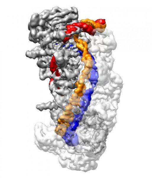 Molecola CRISPR vista alla microscopia crioelettronica (Immagine cortesia Liao lab/Harvard Medical School)