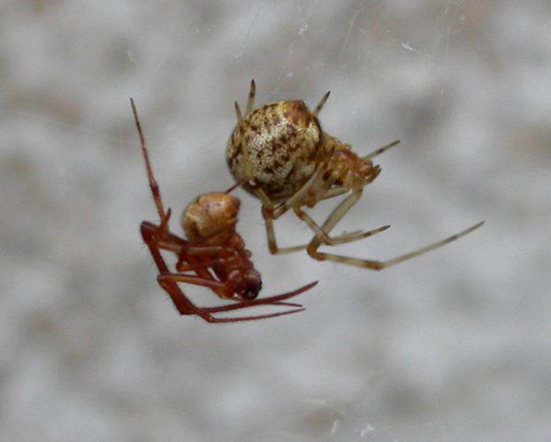 Maschio e femmina di ragno di casa comune