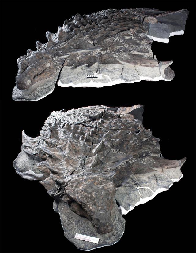 Parte dell'esemplare di Borealopelta markmitchelli (Foto cortesia Royal Tyrrell Museum)