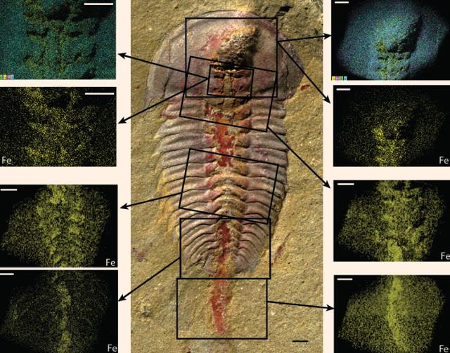 Palaeolenus lantenoisi (Immagine cortesia Hopkins et al)