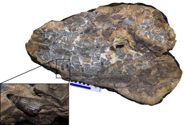 Fossile di Ieldraan melkshamensis (Immagine cortesia Davide Foffa)