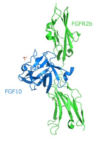 Struttura di FGF10-FGFR2b