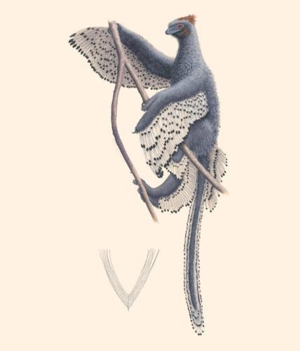 Ricostruzione di Anchiornis huxleyi (Immagine cortesia Rebecca Gelernter)