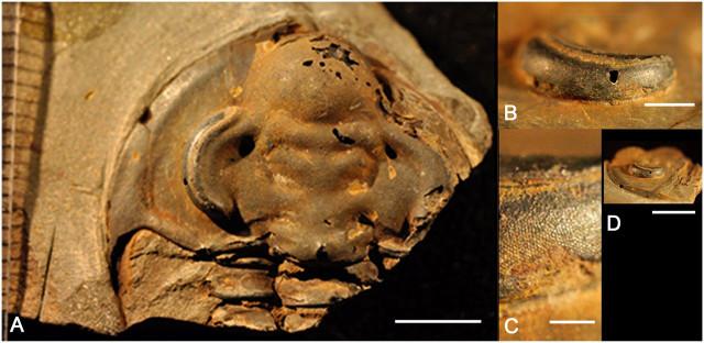 Dettagli di Holmia kjerulfi (Immagine cortesia Brigitte Schoenemann et al.)