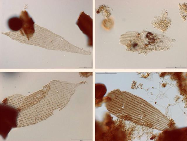 Scaglie di lepidotteri del Giurassico (Immagine cortesia van Eldijk et al.)