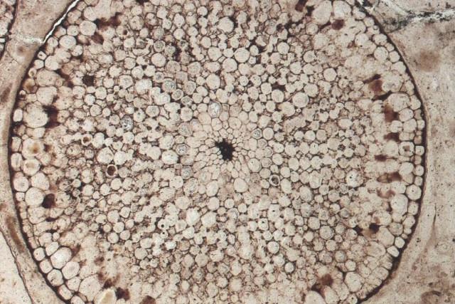 Fossile di Rhynia gwynne-vaughanii di 400 milioni di anni fa (Immagine cortesia Museo di Storia Naturale, Londra)