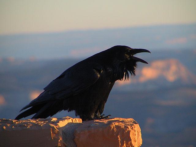 Corvo imperiale (Corvus corax) (Foto National Park Service)