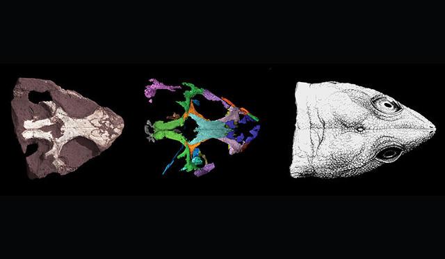 Fasi della ricostruzione del cranio di Colobops noviportensis (Immagine Yale University)