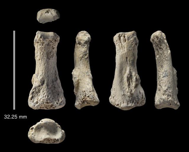 Il fossile Al Wusta-1 (AW-1) (Immagine cortesia Ian Cartwright. Tutti i diritti riservati)