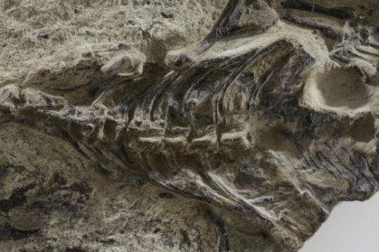 Megachirella Wachtleri (Foto cortesia MUSE - Science Museum, Trento, Italy)