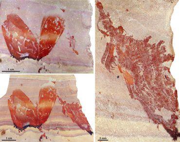 Fossili di Pahvantia hastasta (Immagine cortesia Stephen Pates e Rudy Lerosey-Aubril)