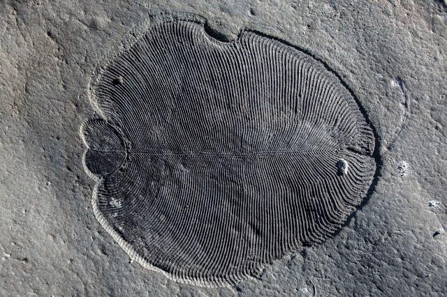 Fossile di Dickinsonia (Immagine cortesia ANU)