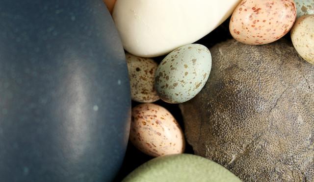 Uova di uccelli e un uovo fossile di dinosauro (Foto cortesia Jasmina Wiemann/Yale University)