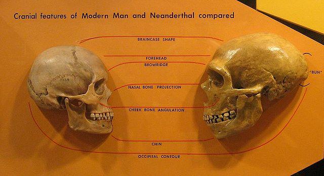 Cranio di Homo Sapiens e di Neanderthal (foto ©hairymuseummatt)