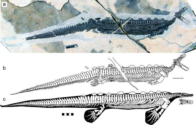 L'Eretmorhipis carrolldongi era un rettile marino che visse circa 250 milioni di anni fa e aveva somiglianze con l'ornitorinco